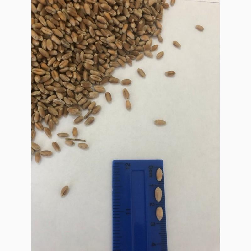 Фото 4. Оптом Пшеница Зерно