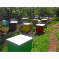 Продам пчелопакеты и пчелосемьи Карпатской породы