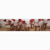 Свиньи живок 1-2 категории - свинокомплекс в Смоленске