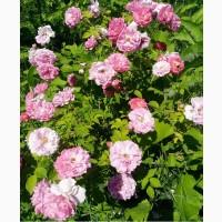 Дамасская роза- Роза маскета, чайная, эфиромасличная черенки