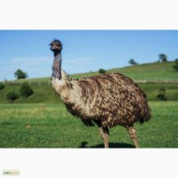 Австралийский страус эму молодняк и взрослые