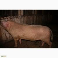 Продаю домашнею свинину