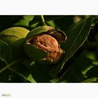 Саженцы грецкого ореха оптом