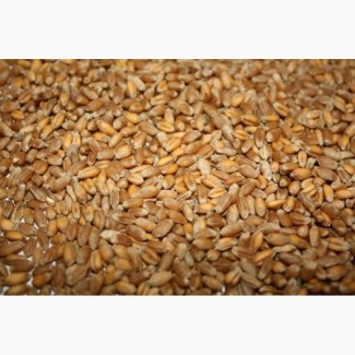 Пшеница 3-й и 4-й класс
