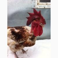 Цыплята цветного бройлера