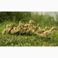 Реализуем молодняк птицы гусята, муларды, цыплята