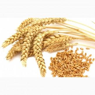 Ячмень и пшеница фураж