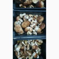 Продаю свежие белые грибы, маслята