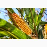 Семена кукурузы РОСС 130 МВ, РОСС 140 СВ, Краснодарский 194 МВ, Краснодарский 385 МВ и др