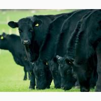 Племенные бычки Абердин-ангуссы