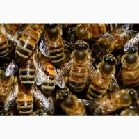 Пчелопакеты порода Карника 2022