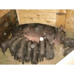 Вьетнамская вислобрюхая (травоядная) свинья (поросятя) Татарстан