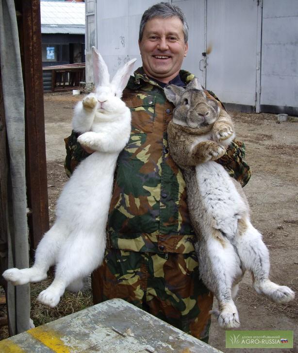 кролик породы фландр фото