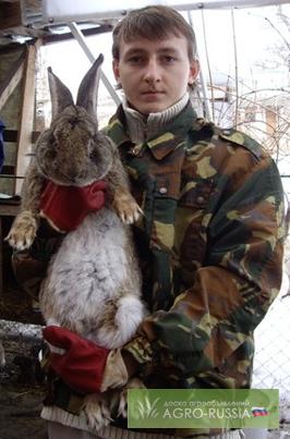 Фото 2. Продаю на племя кроликов порода Бельгийский великан Фландр, Французкий баран