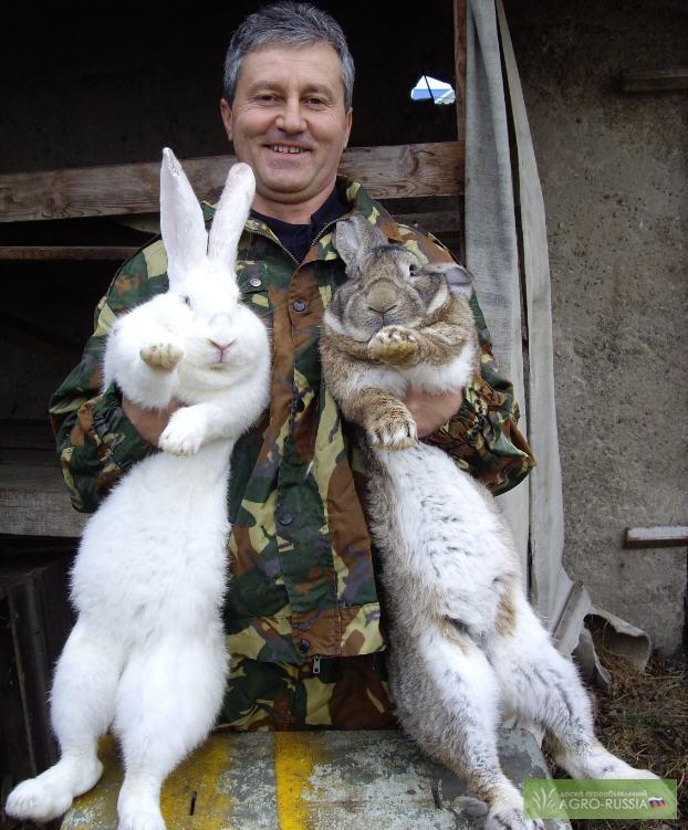 Фландр и французский баран - самые крупные породы кроликов в мире