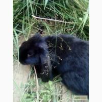 Продаётся кролик породы Французский баран