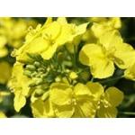 Удобрение для выращивания озимого рапса
