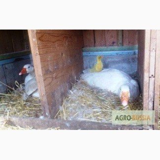 Яйцо гусиное инкубационное