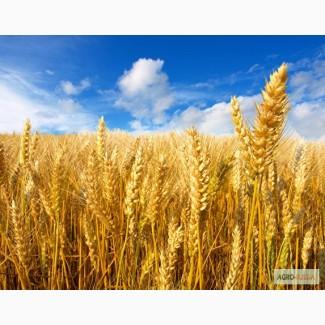 Семена Озимой пшеницы Скарбница