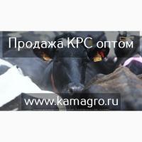 Продажа племенных нетелей КРС с продуктивностью 6500 за лактацию