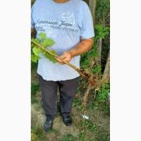 Саженцы Фундук сорт Кубань Corylus maxima L 1 класс