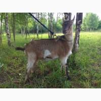 Продается Заанонубская коза
