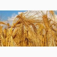 Рожь продовольственная, урожая 2018