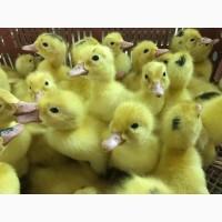 Продам инкубационное яйцо мулард, утка st-5