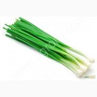 Лук Зеленый Оптом