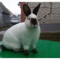 Продаются породистые калифорнийские кролики, 35 голов, возраст 1-2 мес., на племя и откорм