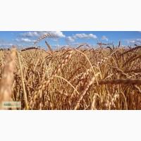 Семена Озимой пшеницы Нива Ставрополья