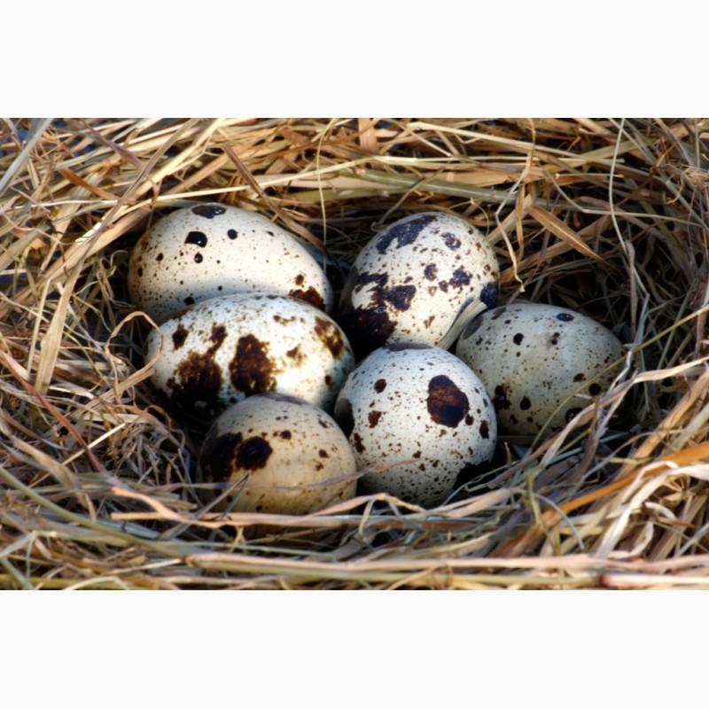Фото 2. Яйцо перепелиное домашнее в продаже