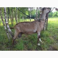 Продается Альпийская коза