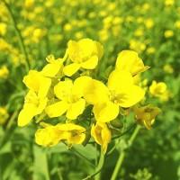 ООО НПП «Зарайские семена» реализует семена горчицы черной, белой и желтой