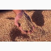 Пшеница и подсолнечник населению