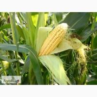 Гибриды семена кукурузы ДКС (МОНСАНТО, ДКС, Monsanto)