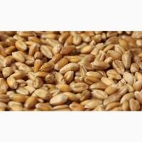 Пшеница озимая, 3 класс, ГОСТ