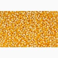 Срочно купим кукурузу фураж в порту Оля, на воротах морского порта