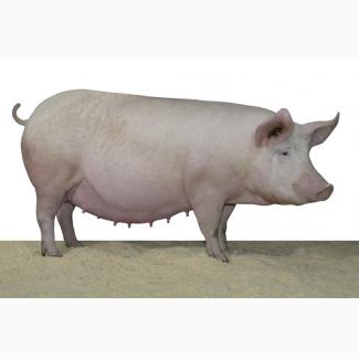 Свиноматки живым весом на убой