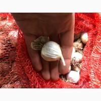 Продам семена однозубка и чеснок сорт Любаша