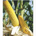Физикс кукуруза RAGT (РАЖТ)