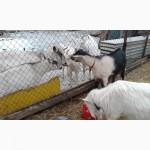 Альпийский козел на вязку