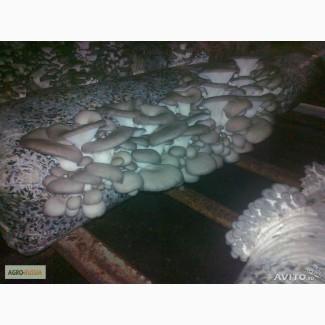 Свежие грибы вешенка