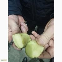 Картофель красный Розалит в Москве