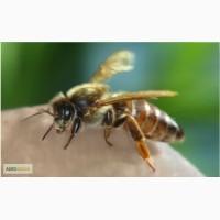 Продам плодных пчеломаток породы Карпатка