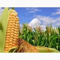 Семена австрийской кукурузы