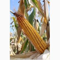 Семена гибридов кукурузы Ладожские