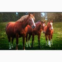 Куплю лошадей и КРС на убой