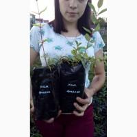 Продается рассада клубники более 10 сортов