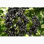 Саженцы черной смородины от производителя
